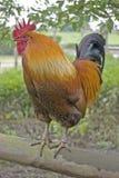 Marsh Daisy Rooster fotografia stock