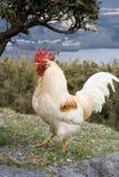 Gallo della montagna Fotografia Stock