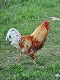 Gallo di bellezza Fotografia Stock Libera da Diritti