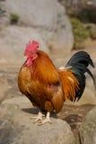 Gallo di Brown Fotografie Stock Libere da Diritti
