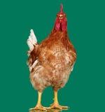 Gallo di Brown su fondo verde, pollo vivo, un animale da allevamento del primo piano Immagine Stock Libera da Diritti