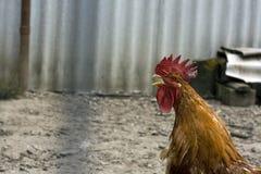 Gallo di canto Immagini Stock