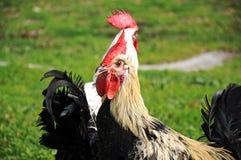 Gallo di Denizli, la razza tipica del gallo nella provincia di Denizli fotografia stock