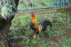 Gallo di Kauai, isole hawaiane Fotografia Stock Libera da Diritti