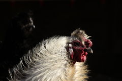 Gallo di Silkie Fotografie Stock Libere da Diritti