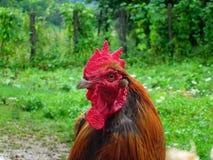 Gallo domestico sul campo di erba Fotografia Stock