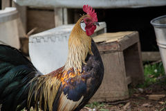 Gallo dorato di Phoenix sul cortile rurale tradizionale Avicoltura libera della gamma Fotografia Stock Libera da Diritti