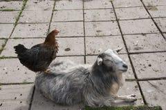 Gallo e capra Fotografie Stock Libere da Diritti