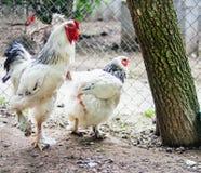 Gallo e gallina Immagini Stock
