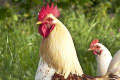 Gallo e gallina immagini stock libere da diritti