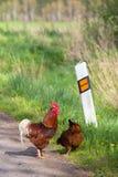 Gallo e gallina Fotografia Stock
