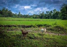 Gallo e gallina Fotografie Stock