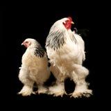 Gallo e gallina chiari di brahma immagini stock