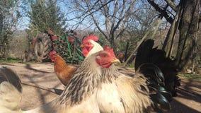 Gallo e galline Fotografie Stock