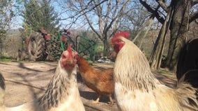 Gallo e galline Immagini Stock Libere da Diritti