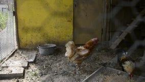 Gallo e galline ingabbiati in gabbia di pollo sull'iarda rurale tradizionale del lievito di birra Gallo dorato e polli di Phoenix stock footage