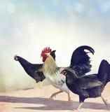 Gallo e polli Immagini Stock Libere da Diritti