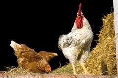 Gallo e pollo Fotografia Stock