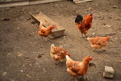 Gallo e pollo Fotografia Stock Libera da Diritti