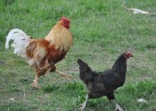 Gallo e pollo di bellezza Immagine Stock