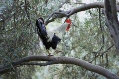 Gallo en árbol Foto de archivo