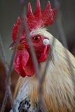 Gallo en cautiverio Foto de archivo libre de regalías