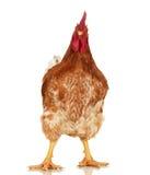 Una hermosa mujer toma un misionero gallo negro -