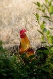 Gallo en el jardín Imagen de archivo