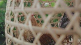 Gallo en jaula del pequeño bastón en país del sur metrajes