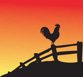 Gallo en la puesta del sol Fotos de archivo libres de regalías