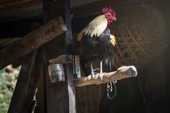 gallo en la rama del fondo de la naturaleza, símbolo de 2017 en c del este Foto de archivo libre de regalías