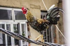 Gallo en los alambres fotografía de archivo libre de regalías