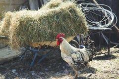 Gallo en naturaleza fotografía de archivo libre de regalías