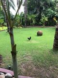 Gallo en Sayulita México Imagen de archivo libre de regalías