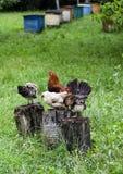 Gallo en tronco Foto de archivo libre de regalías