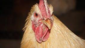 Gallo en un granero Fotografía de archivo libre de regalías