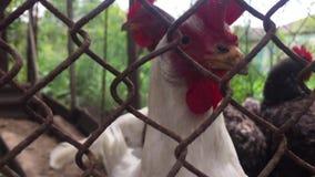 Gallo en una jaula con los pollos, mirando en la cámara a través de las células de la vieja malla metálica almacen de video