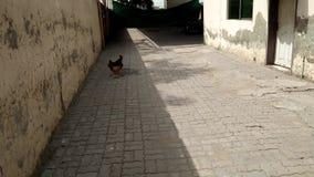 Gallo/gallo espantoso metrajes