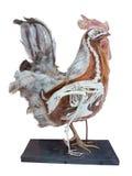 Gallo farcito con l'interno dello scheletro isolato sopra bianco Fotografia Stock