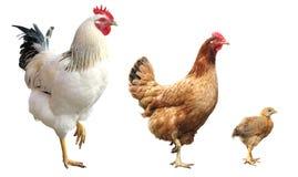 Gallo, gallina y pollo, aislados Fotos de archivo