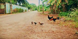 Gallo, gallina, y polluelos Fotos de archivo