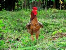 Gallo, gallo imagen de archivo libre de regalías