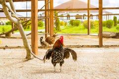 Gallo - gallo, símbolo de nuevo 2017 Fotos de archivo libres de regalías