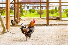 Gallo - gallo, símbolo de nuevo 2017 Foto de archivo libre de regalías