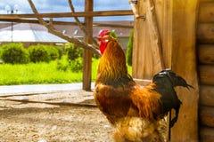 Gallo - gallo, simbolo di nuovo 2017 Fotografia Stock Libera da Diritti