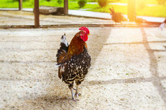 Gallo - gallo, simbolo di nuovo 2017 Fotografie Stock