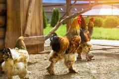 Gallo - gallo, simbolo di nuovo 2017 Immagini Stock Libere da Diritti