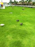 Gallo in giardino immagini stock