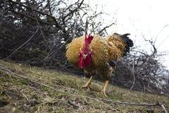 Gallo grande enojado Fotografía de archivo libre de regalías