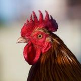 Gallo hermoso Fotos de archivo